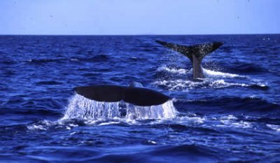 sperm whale tail dominica